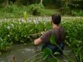 harvest water hyacinths